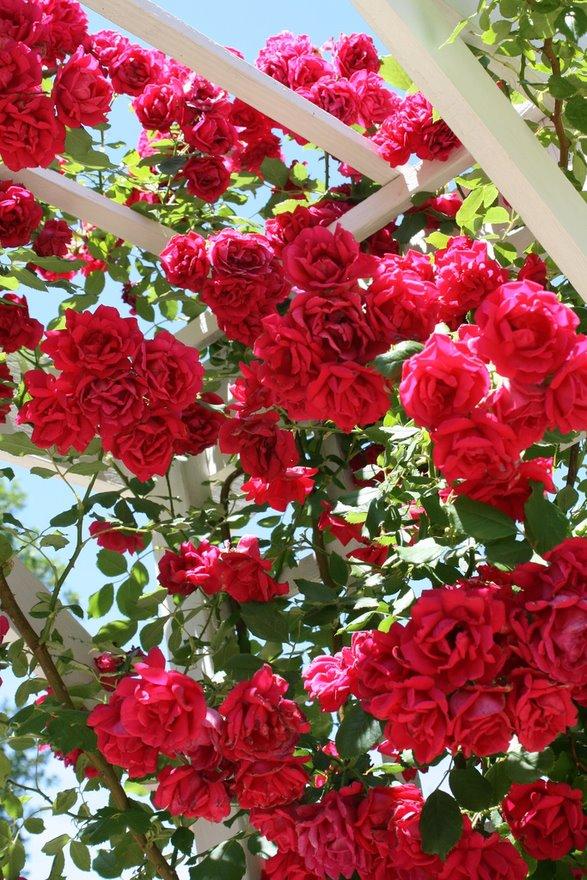 Crveno cveće - Page 4 30rOeJ