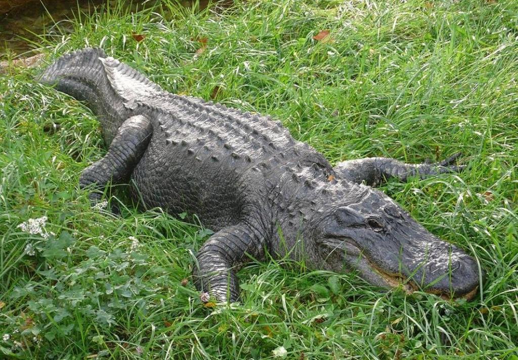 Krokodili - Page 3 Qp10GL