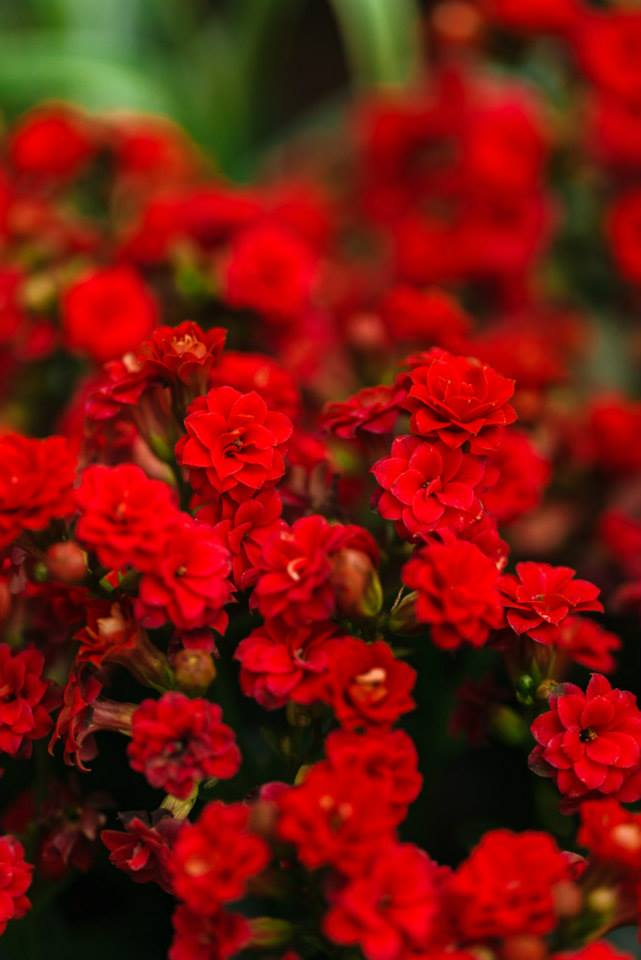 Crveno cveće - Page 5 J7Oi7c