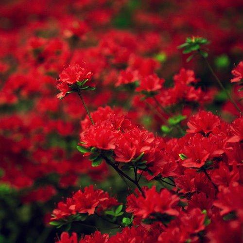 Crveno cveće - Page 4 Z8Svh9