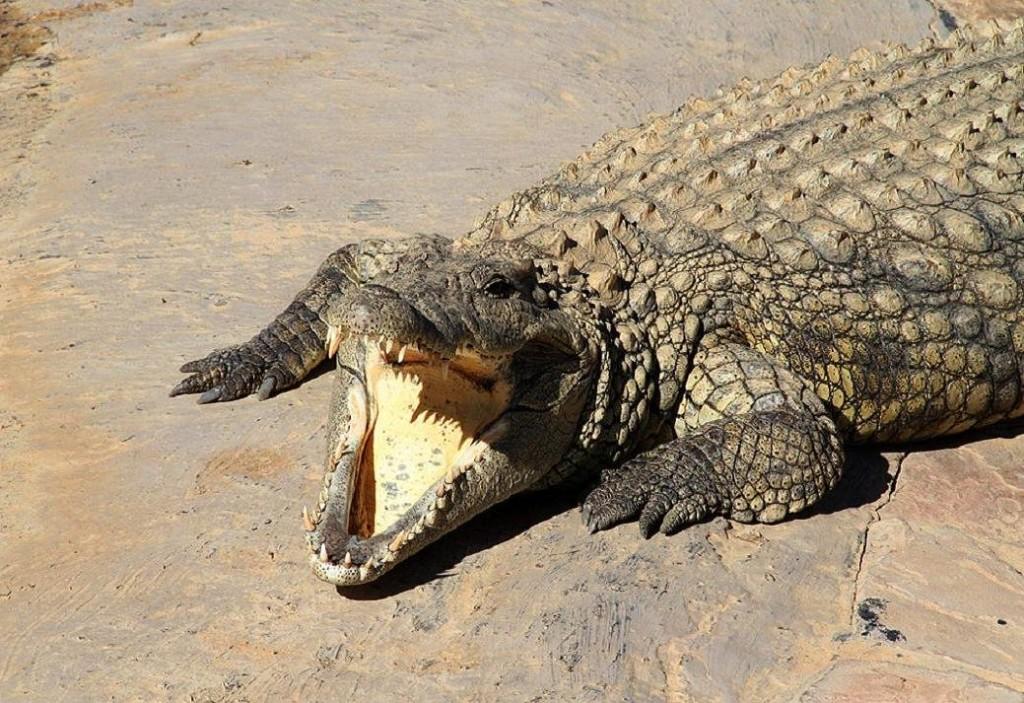 Krokodili - Page 3 01MFDD