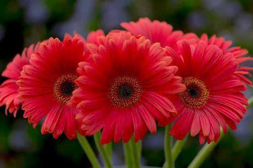 Crveno cveće - Page 4 NmeTGo