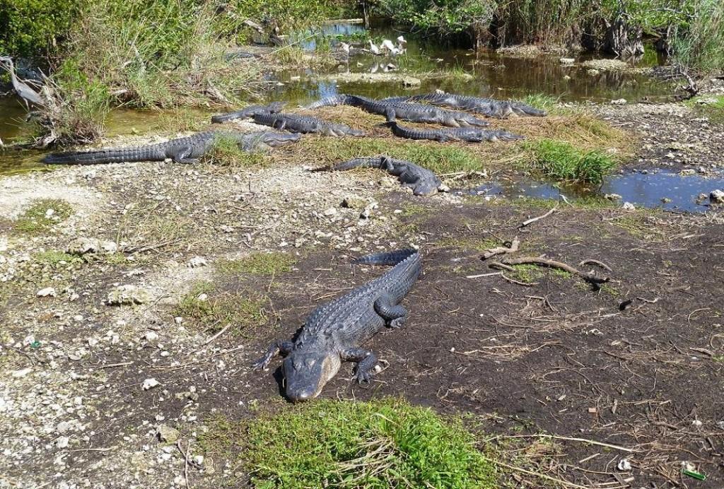 Krokodili - Page 3 PXennY