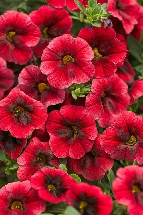 Crveno cveće - Page 5 Znoxlc