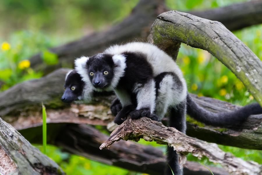 Sortie au Zoo d'Olmen (à côté de Hasselt) le samedi 14 juillet : Les photos - Page 2 Mg7745201207147d