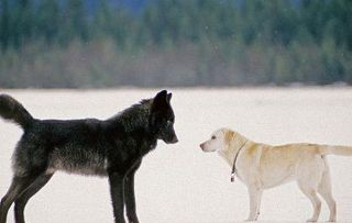 See how big a wolf is HCGNYp