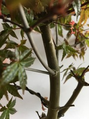 Acer Palmatum Deshojo 81M346
