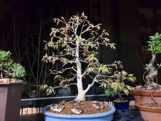 Acer Palmatum Deshojo SMoE9h