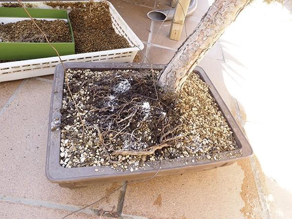 Help, Pino negro con hongos en raiz? PV5YKv