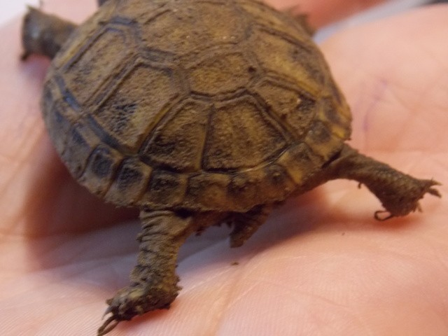 identifier mes 2 tortues Gyen0D