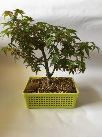Acer Palmatum Deshojo NR3bs0