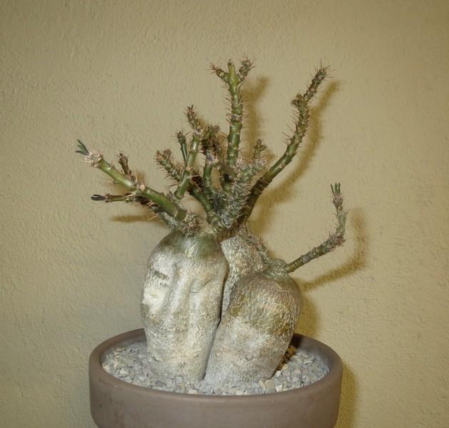 Pachypodium succulentum  - Page 3 3VPhvL