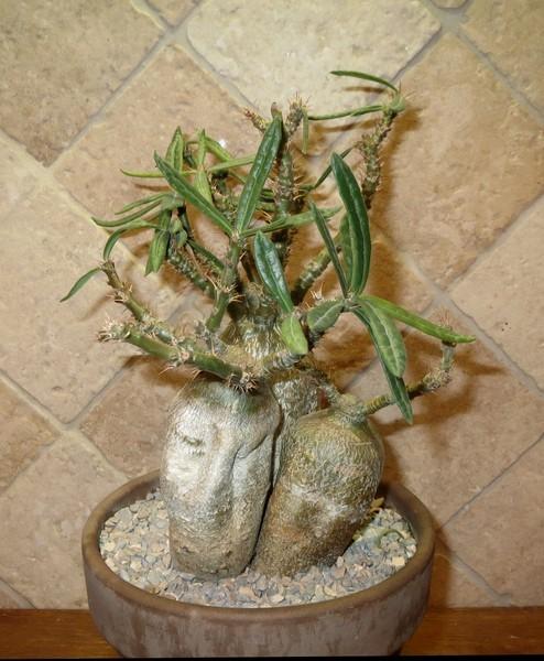 Pachypodium succulentum  - Page 2 IrBuaC