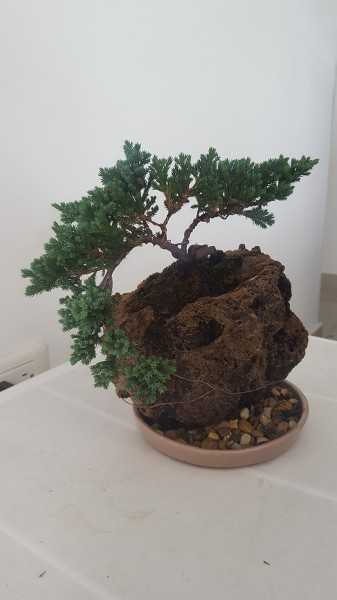 SOS junipero procumbens nana P5NYHg