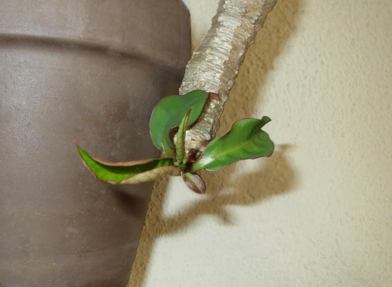 Euphorbia ankarensis No476v