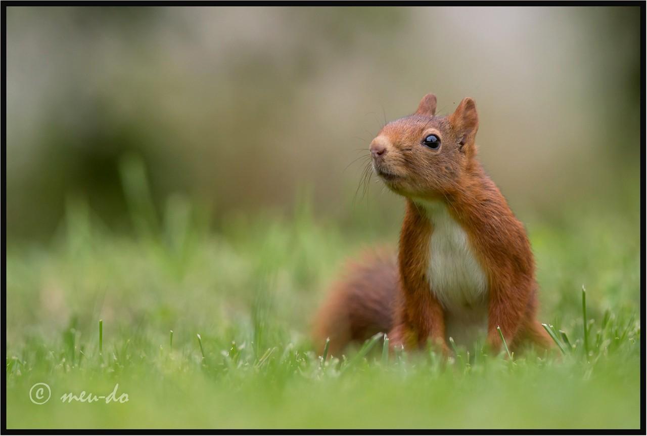 Ecureuils roux... ShK3Ba