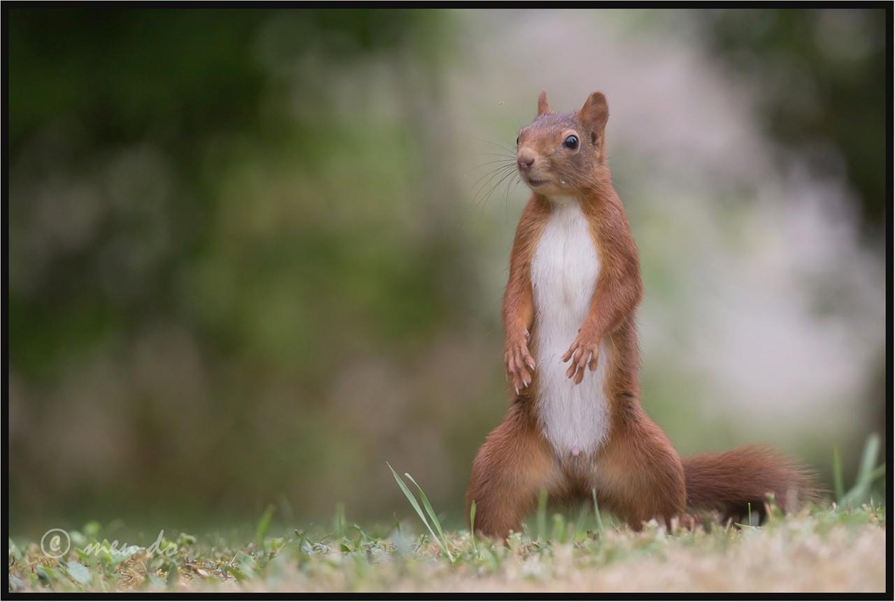 Ecureuils roux... CqwGjT