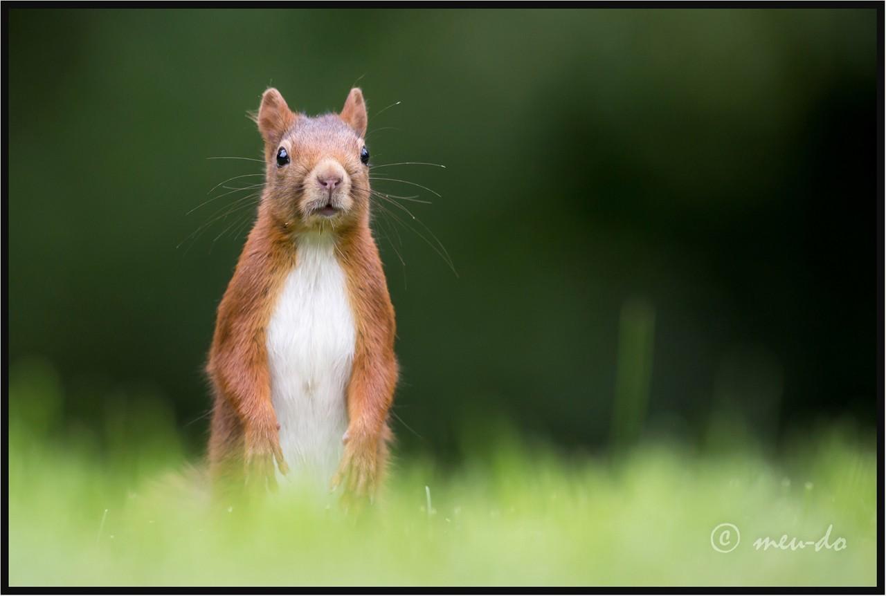 Ecureuils roux... OAWV4I