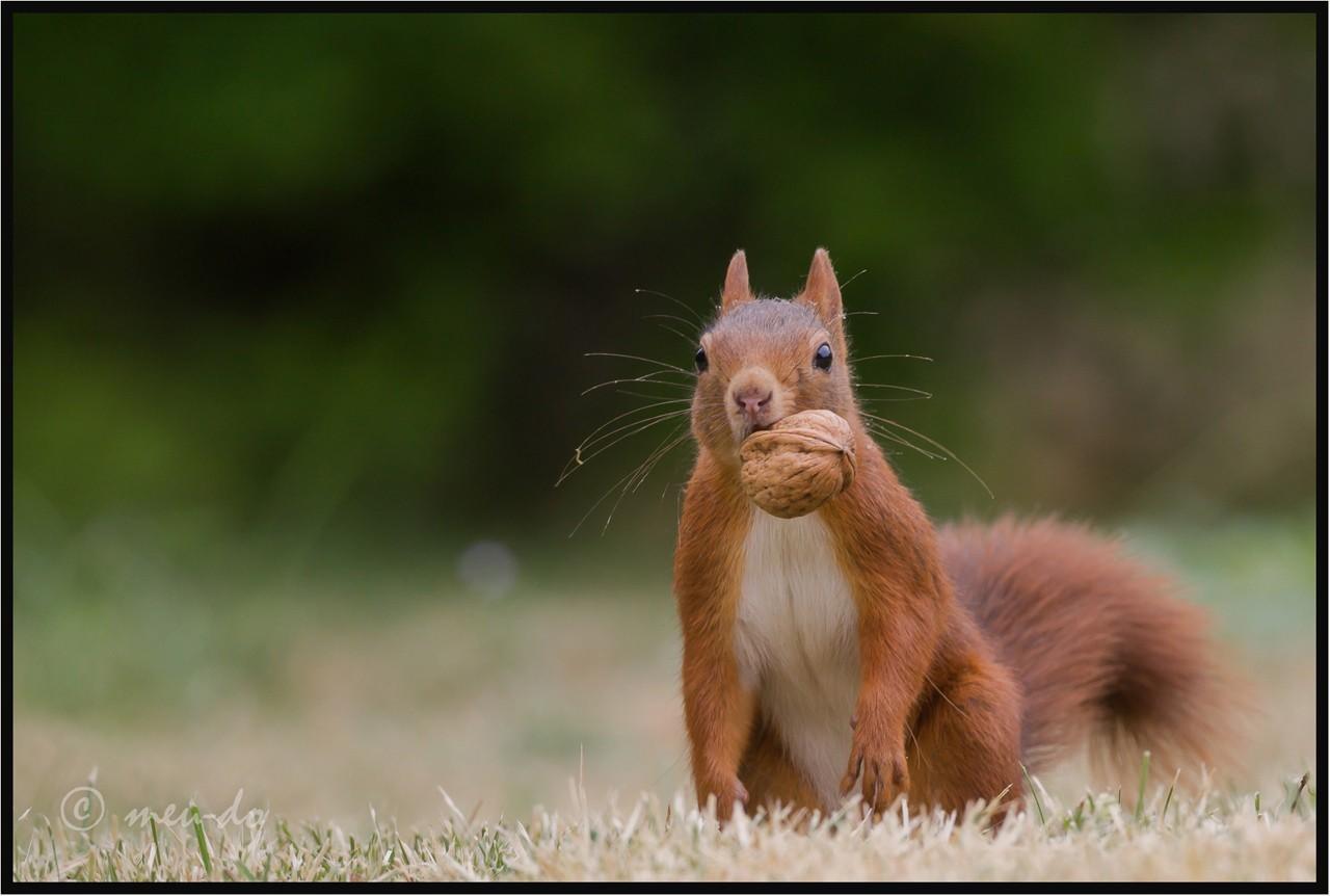 Ecureuils roux... ZOJ9ft