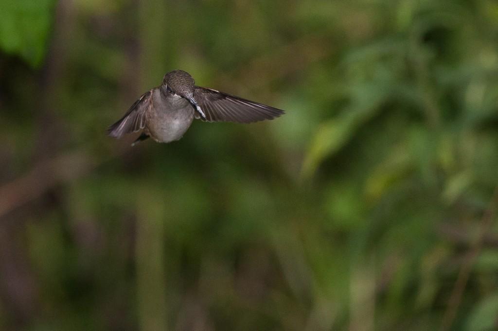 Colibri à gorge rubis Lo1PKl