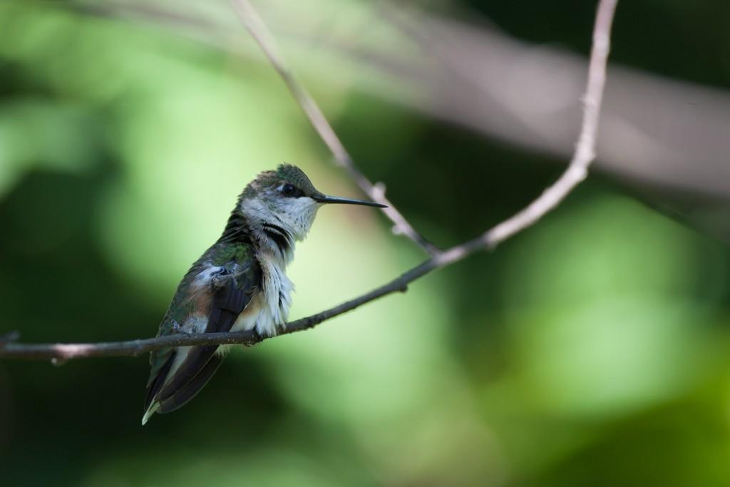 Colibri à gorge rubis OOLuJH