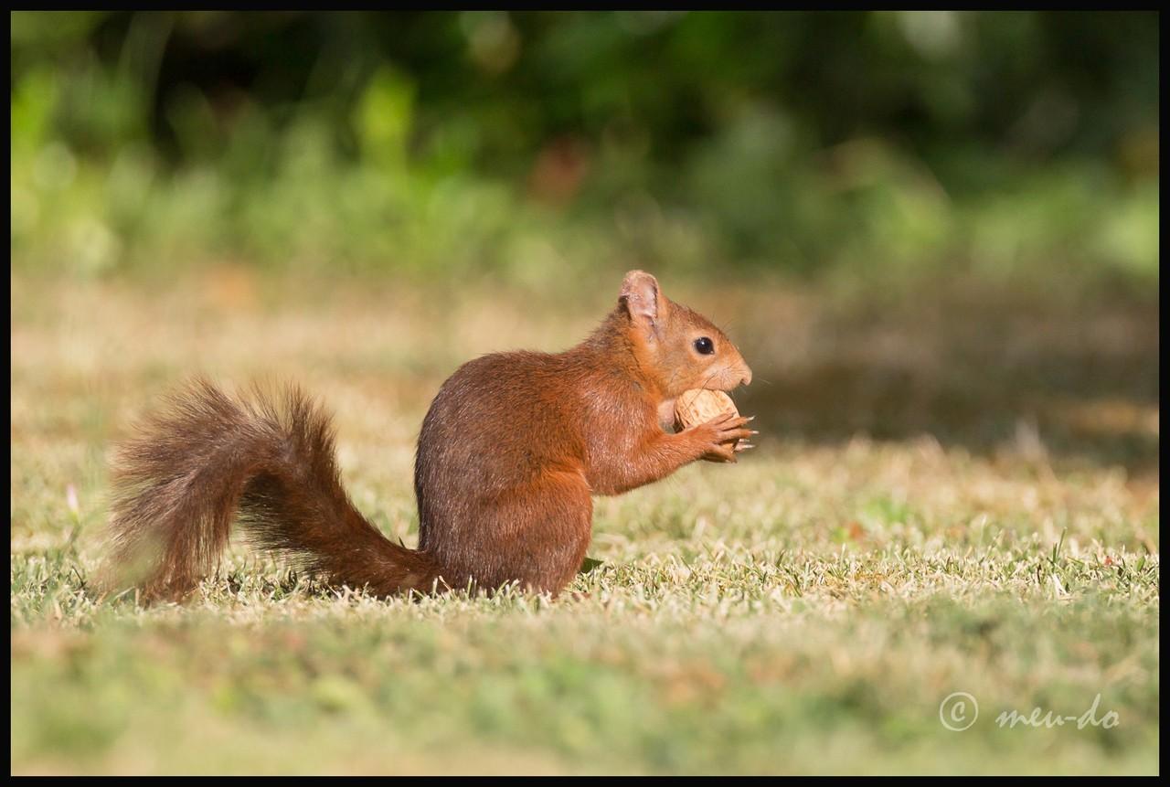 Ecureuils roux... KUmZvs