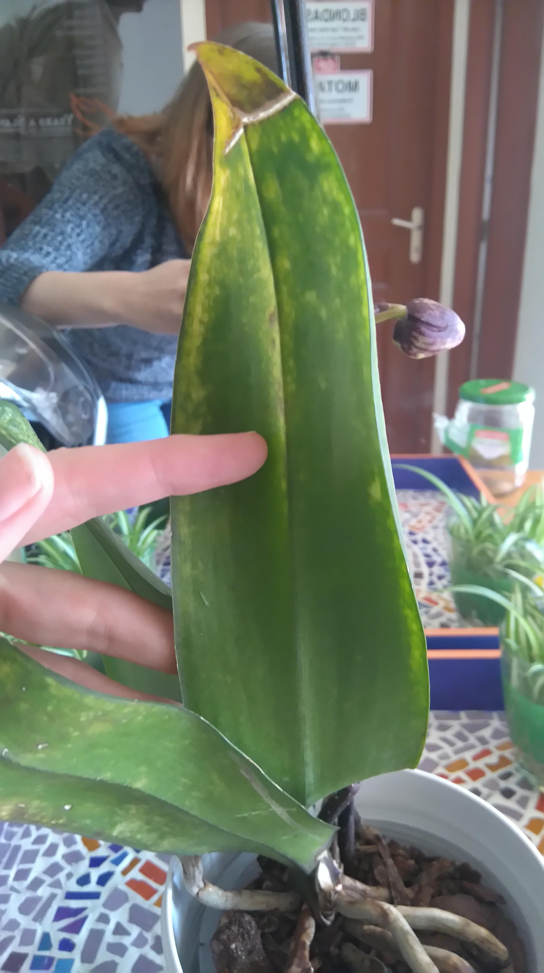 Phalaenopsis malade XCaup4