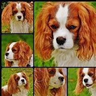 Le cavalier king charles : le roi des chiens