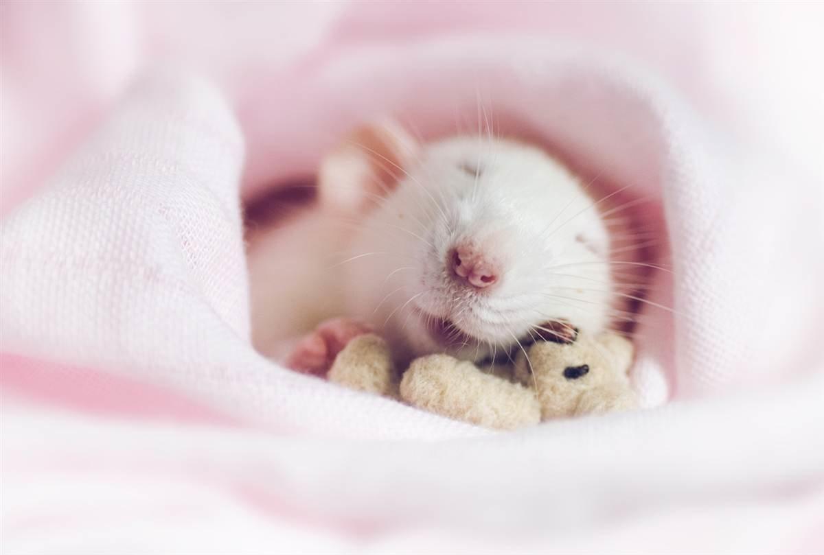 Les rats comme animaux de compagnie