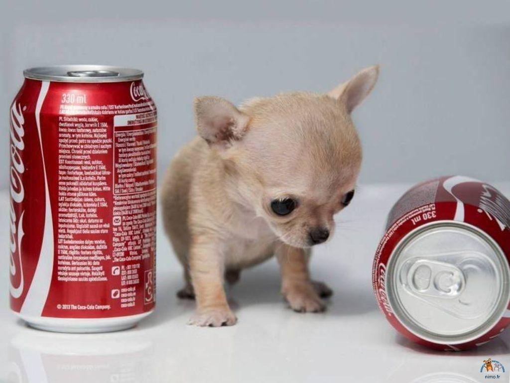Trop-mignon-!-Decouvrez-Toudi-le-chien-le-plus-petit-du-monde-Photos exact1024x768 l