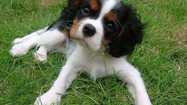 Photos Cavalier King Charles