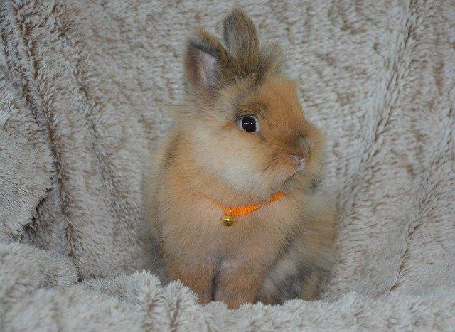 Races de lapins nains