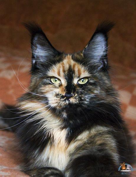 Maine coon calico