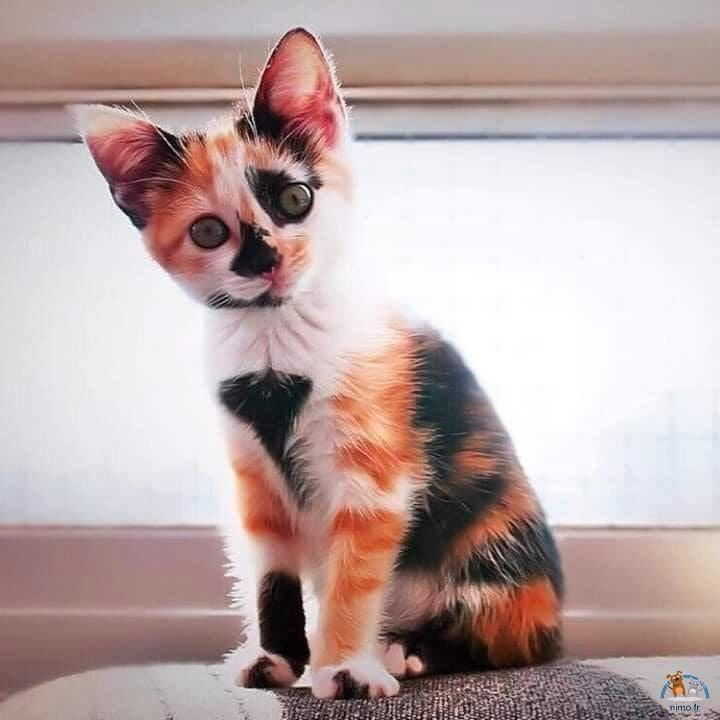 Chats tricolors (Calico)