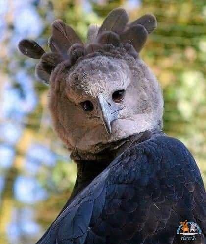Harpie féroce (faucon-royal)