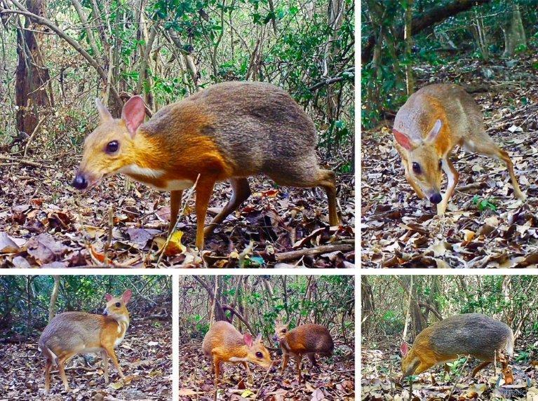 La souris-cerf, espèce redécouverte au Vietnam après 30 ans de disparition