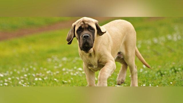 L'histoire touchante de ce Mastiff anglais vous retournera le coeur !