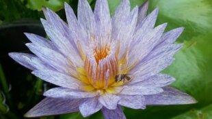 Time lapse lotus et nymphaea