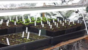 Le semis intérieur des Primula / Primevères