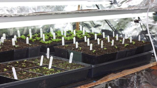 Main photo Le semis intérieur des Primula / Primevères