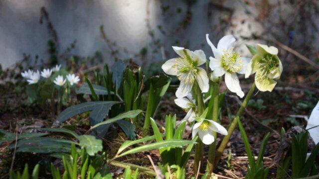 Le semis en climat nordique des Helleborus x niger (Hellébores)