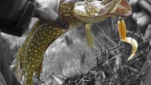 Tutos Vidéos des différentes techniques pour pêcher le BROCHET