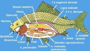 Les sens des poissons