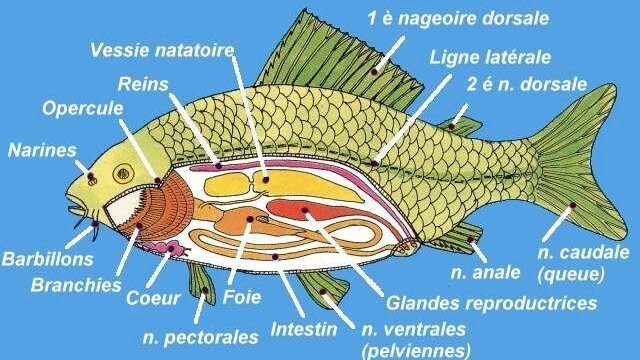 Main photo Les sens des poissons
