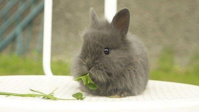 Comment nourrir un lapin domestique ?