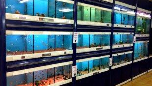 Mycobacterium marinum - La maladie du poisson à l'homme