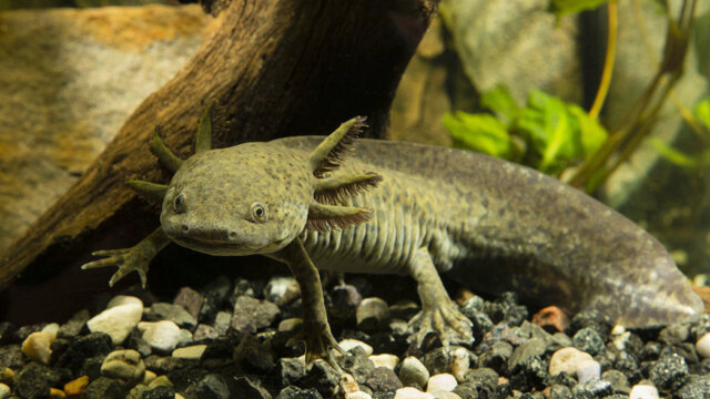 Main photo Tutoriel : Maintenir Des Axolotls En Aquarium