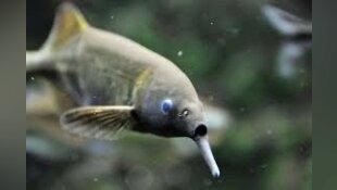 Poisson éléphant - Gnathomenus petersii - Fiche poisson