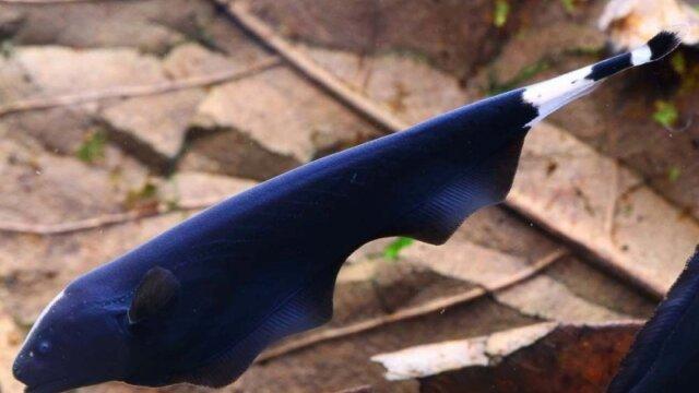 Main photo Poisson couteau (Apteronotus albifron) - Fiche Poisson