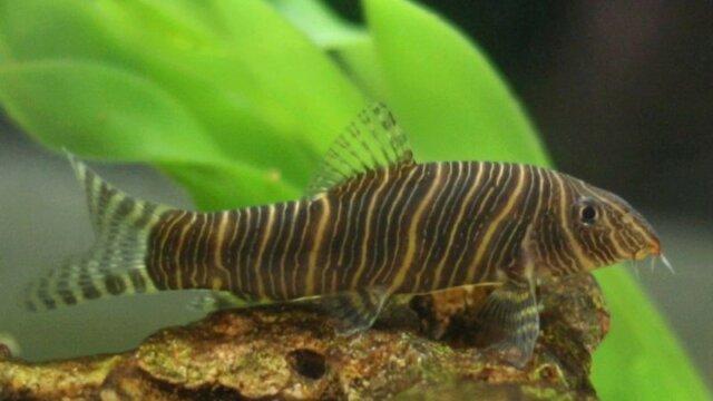 Botia Striata (Loche zébrée) - Fiche poisson